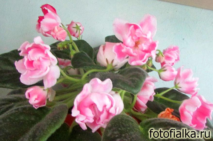 волшебный тюльпан фиалка